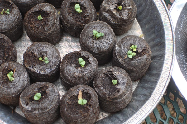 Peat Pots Sprouting